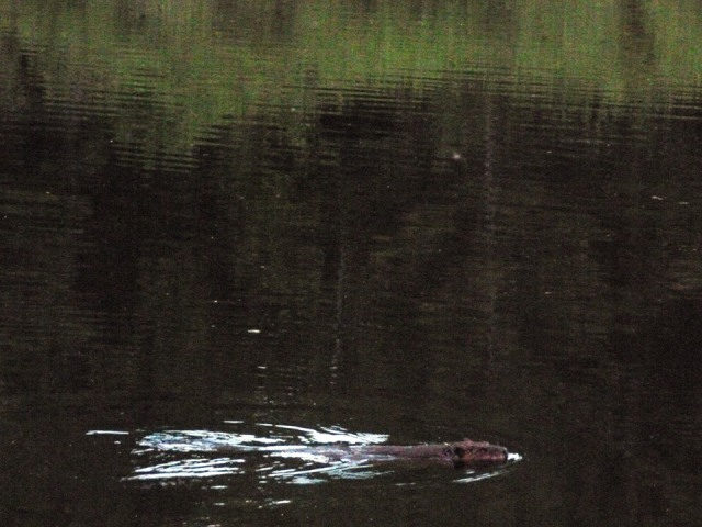 There's lots of wildlife; we saw this beaver last year